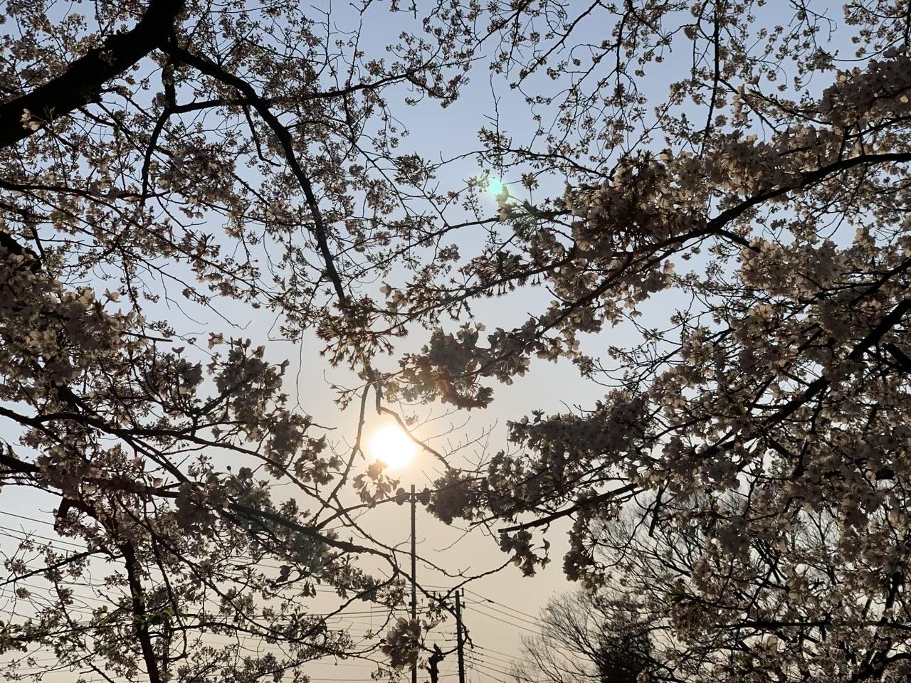 桜と夕焼け